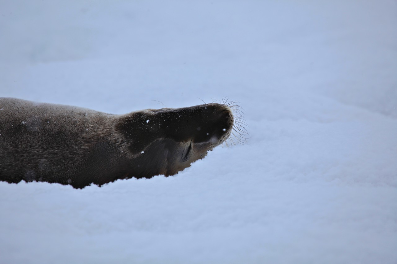 This fur seal has a short and broad snout compared with others in the family. Adult males are dark brown in color. Females and juveniles tend to be grey with a lighter underside.  Pups are dark brown, nearly black at birth. About one in 1000 Antarctic fur seals are pale 'blonde' variants.