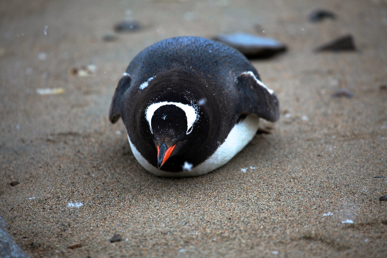 This penguin takes a rest on the beach.