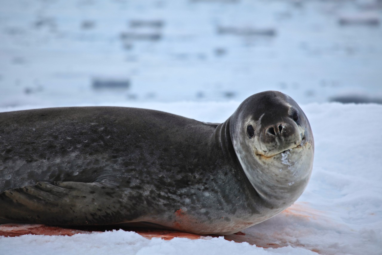 The leopard seal has canine teeth that are 1 inch long. It feeds on a wide variety of creatures including krill, squid, fish and penguins.   When hunting penguins, the leopard seal patrols the waters, almost completely submerged, waiting for the birds to enter the ocean. It kills the penguin by grabbing the feet, then shaking it vigorously and beating its body against the surface of the water repeatedly until the penguin is dead and has stopped moving.