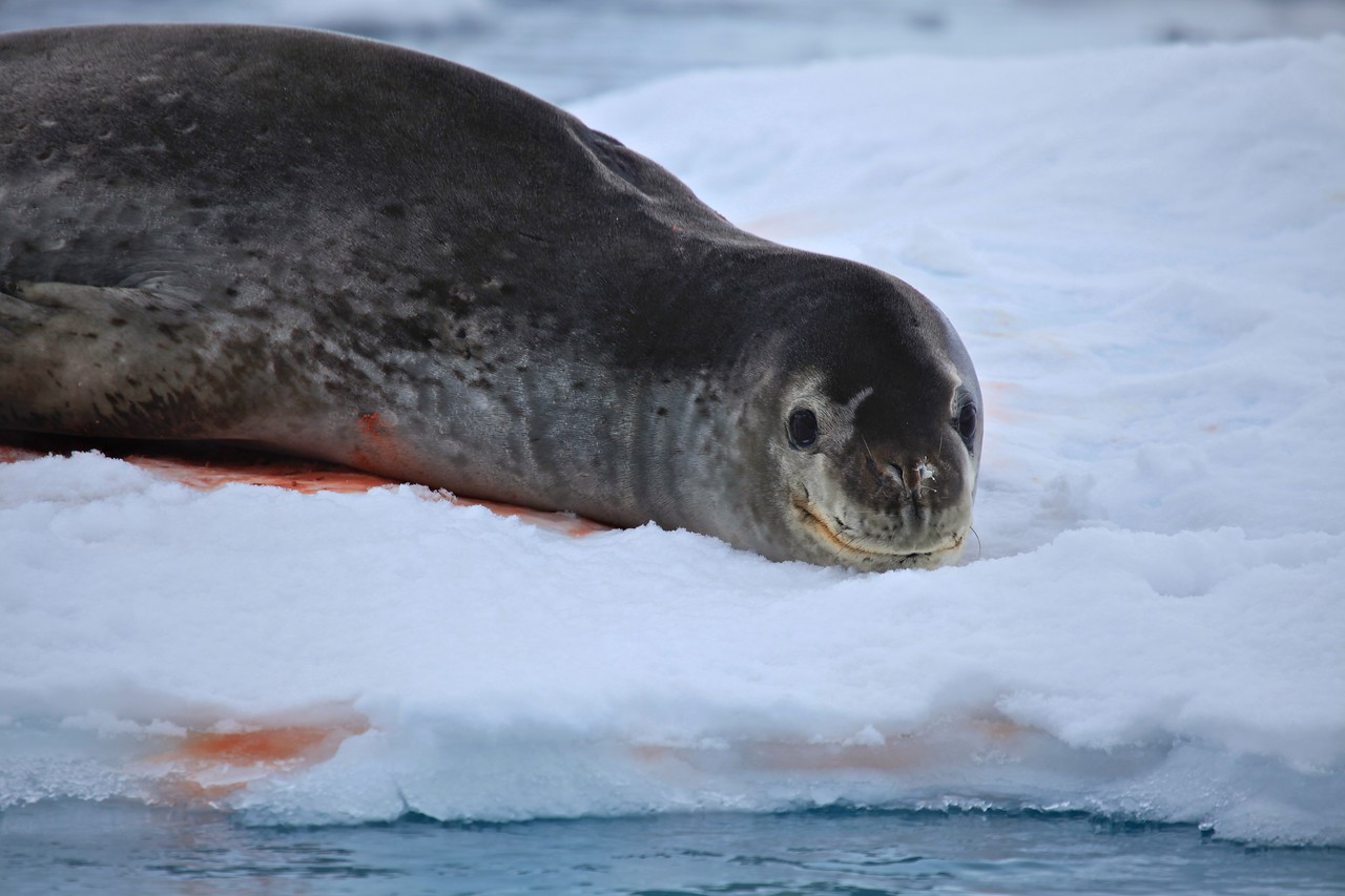 The leopard seal is large and muscular, with a dark grey back and light grey on its stomach. Its throat is whitish with the black spots that give the seal its common name. Females are generally larger than the males.