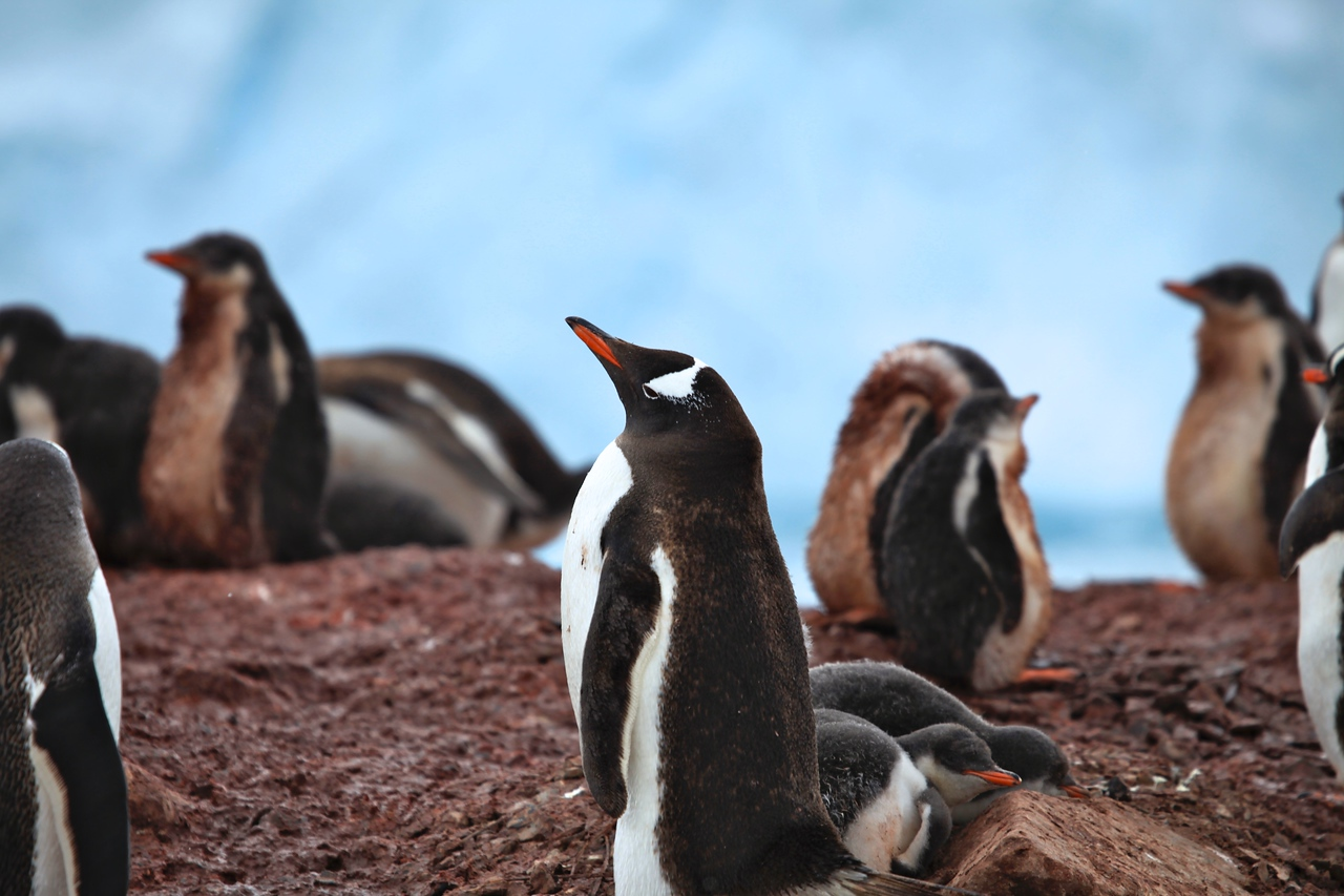 Neko has a combination of Chinstrap and Adelie penguins.