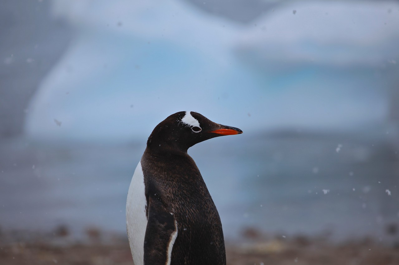 An Adelie penguin in the snow.
