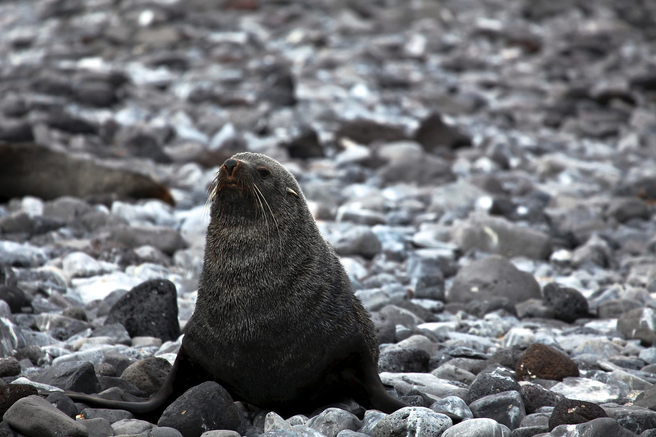 The Antarctic Fur Seal was very heavily hunted in the 18th and 19th centuries for its pelt by sealers from the US and UK. By the early twentieth century, the seal was regarded as commercially extinct, and perhaps completely extinct.