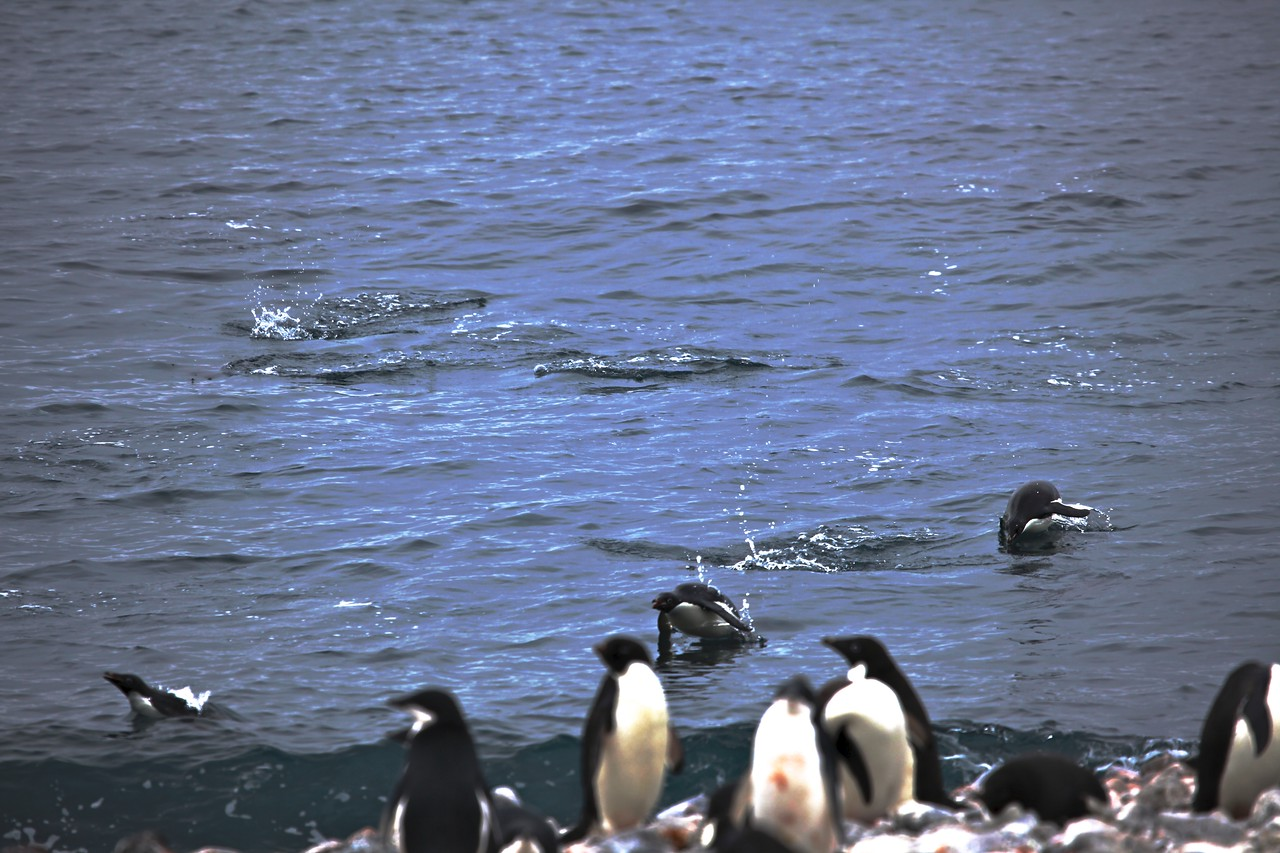 Adelie penguins are great swimmers.  Their tail is a little longer than other penguins' tails.