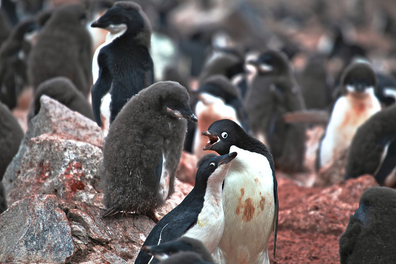 Adélie Penguins arrive at their breeding grounds in January.