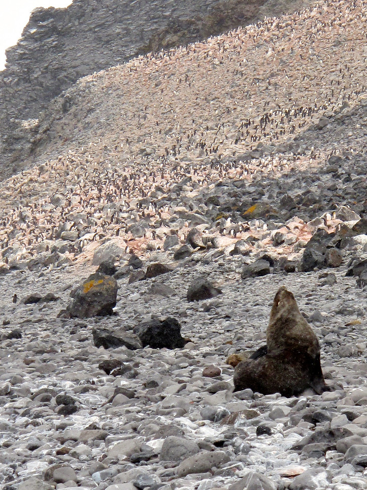 Amongst the penguins, there are also a few Antarctic Fur Seals.