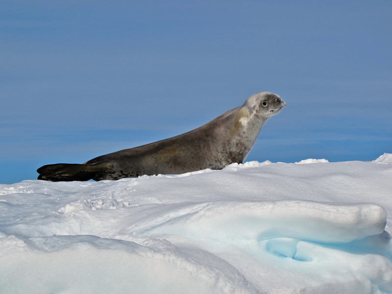 More than one in every two seals in the world is a Crabeater Seal. It is also one of the fastest seals; a crabeater seal can swim 16 mph