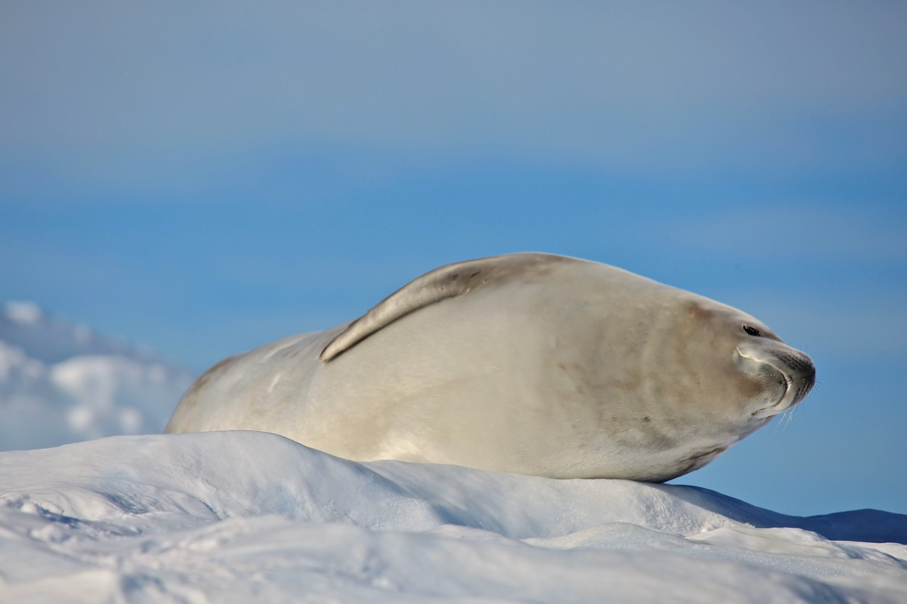 Despite its name, its diet does not include crabs. Instead, a crabeater seal's unusual multilobed teeth enable this species to sieve krill from the water.