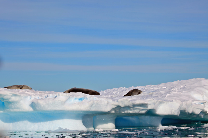 Here are some crabeater seals taking a sun break on top of an iceberg.