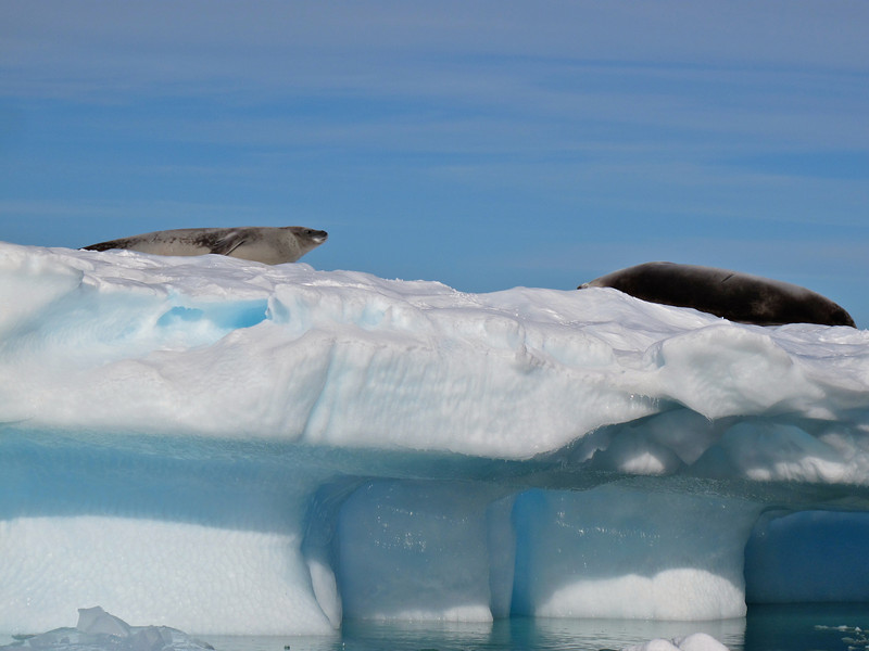 "The Crabeater Seal, is a little-known mammal. At a population of 8 to 50 million, it is perhaps the ""third most numerous large species of mammal on Earth, after humans and cattle""."