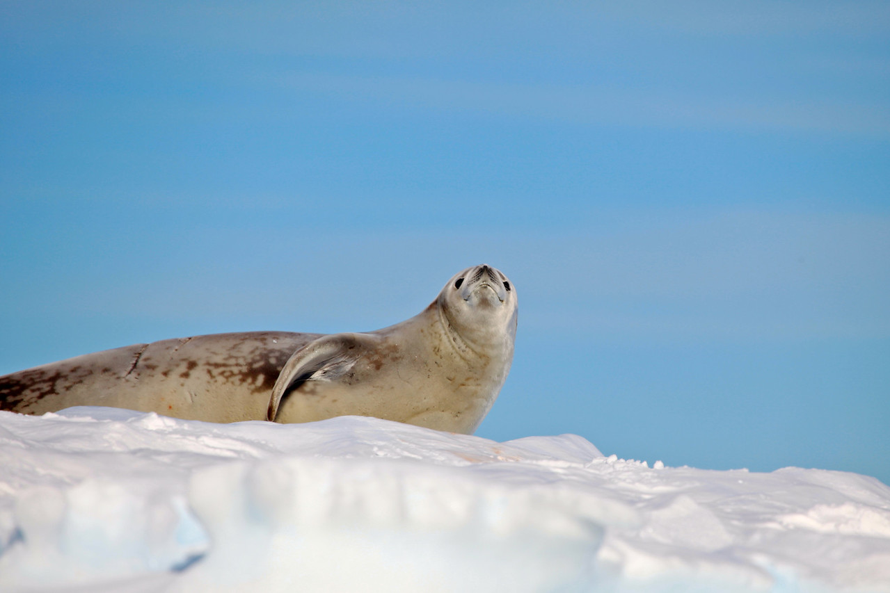 Males grow to about 7 to 8 feet and weigh roughly between 440 to 660 lbs. After molting seasons the fur of the crab eater seal is dark brown fading to blonde on its belly.