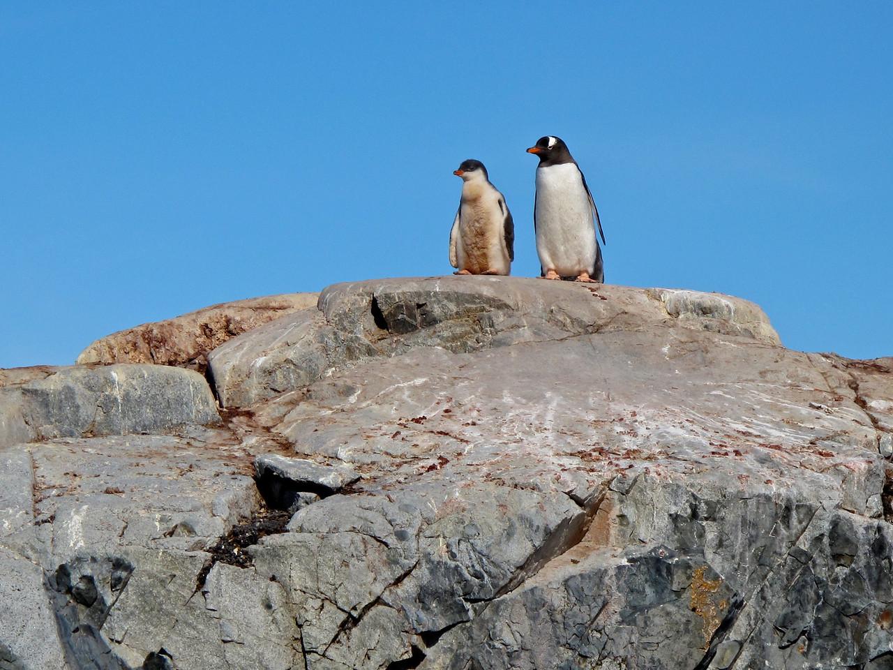 A Gentoo penguin parent and chick.