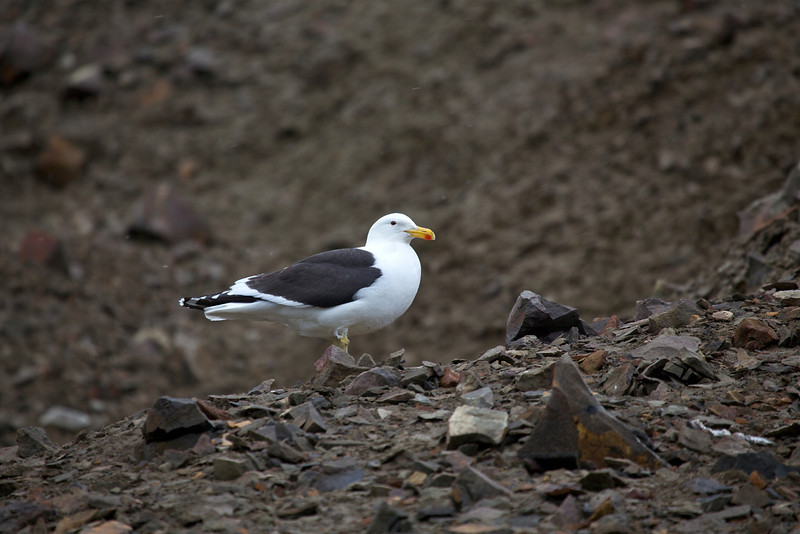 This kelp gull takes a rest and really stands out among the dark volcanic soil background.