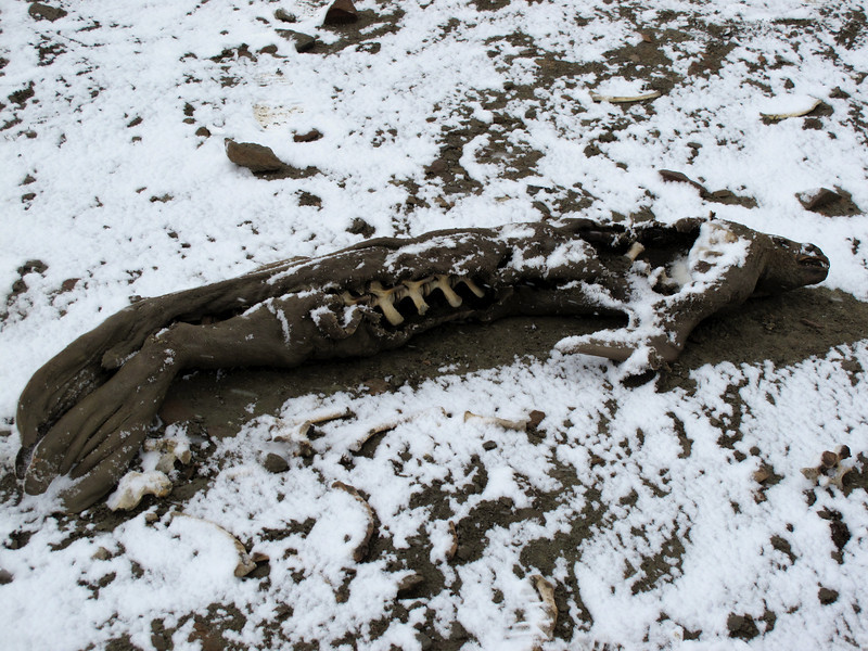 """This was the first time in 4 years that our ship was able to reach Snow Hill Island, because of previous blockage by pack ice.  This seal has been """"mummified"""" and was in this same conditions 4 years earlier."""