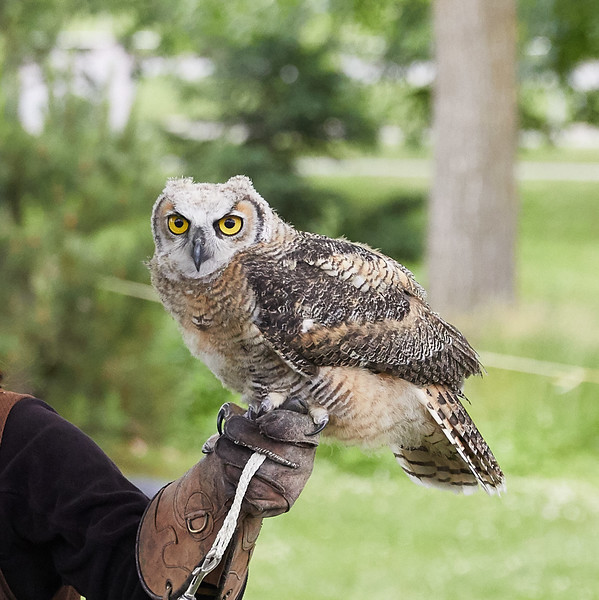Birds of Prey demonstration at the Summer Solstice Indigenous Peoples Pow Wow (Owl)