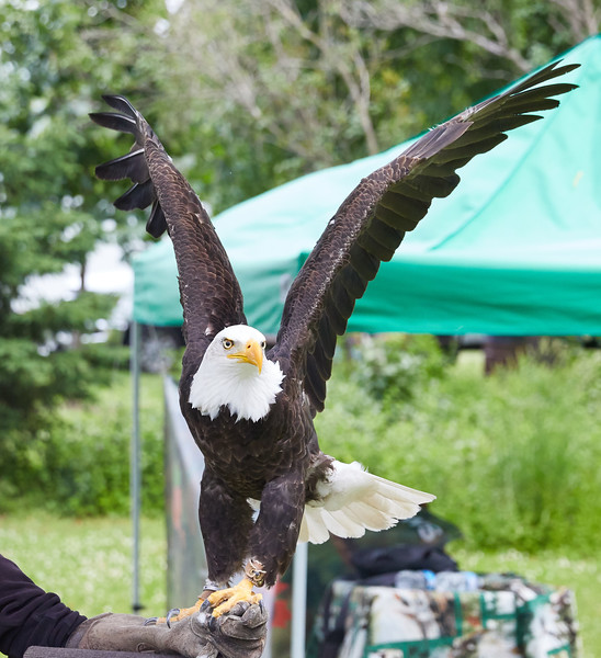 Birds of Prey demonstration at the Summer Solstice Indigenous Peoples Pow Wow (Bald Eagle)