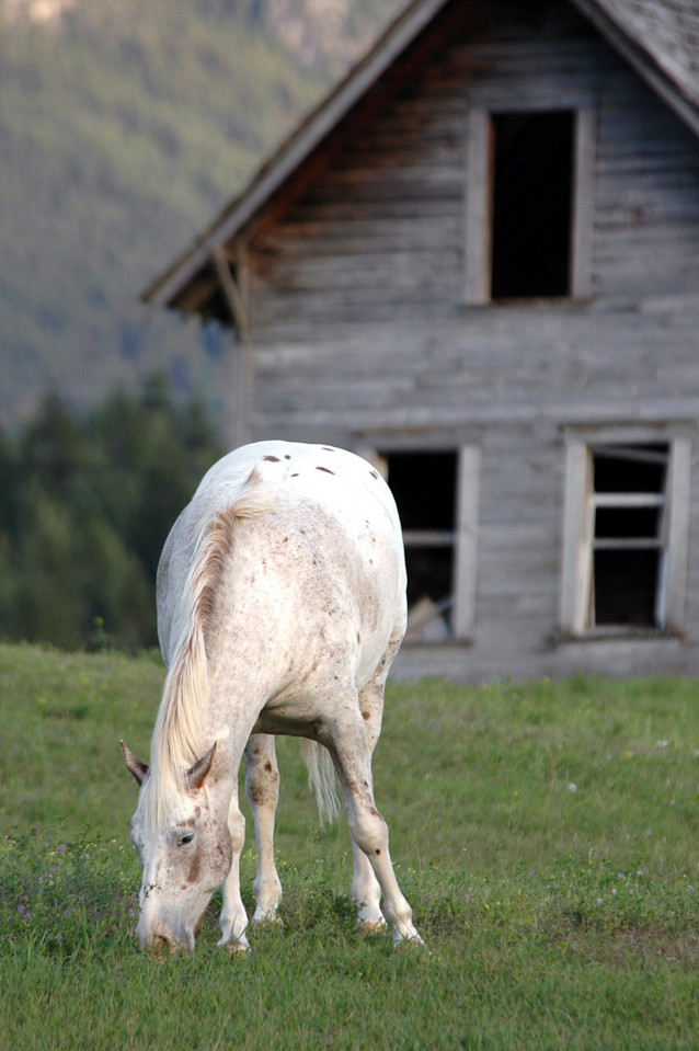 horse grazing by abandoned house - near Radium Hot Springs, Canada