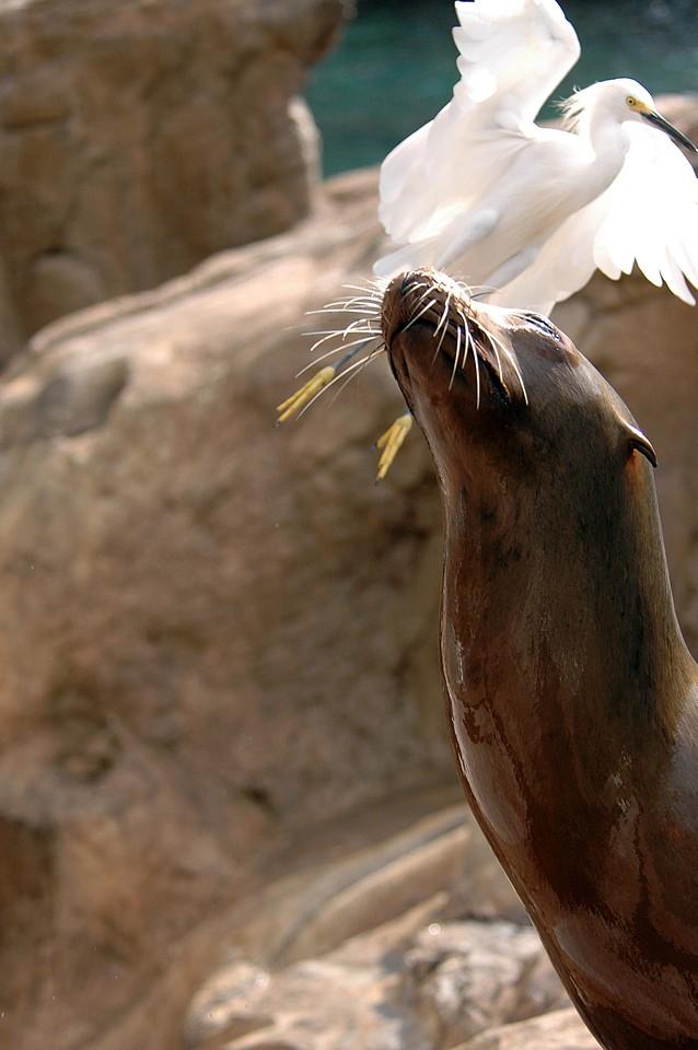 sea lion can't get egret off his mind - Florida