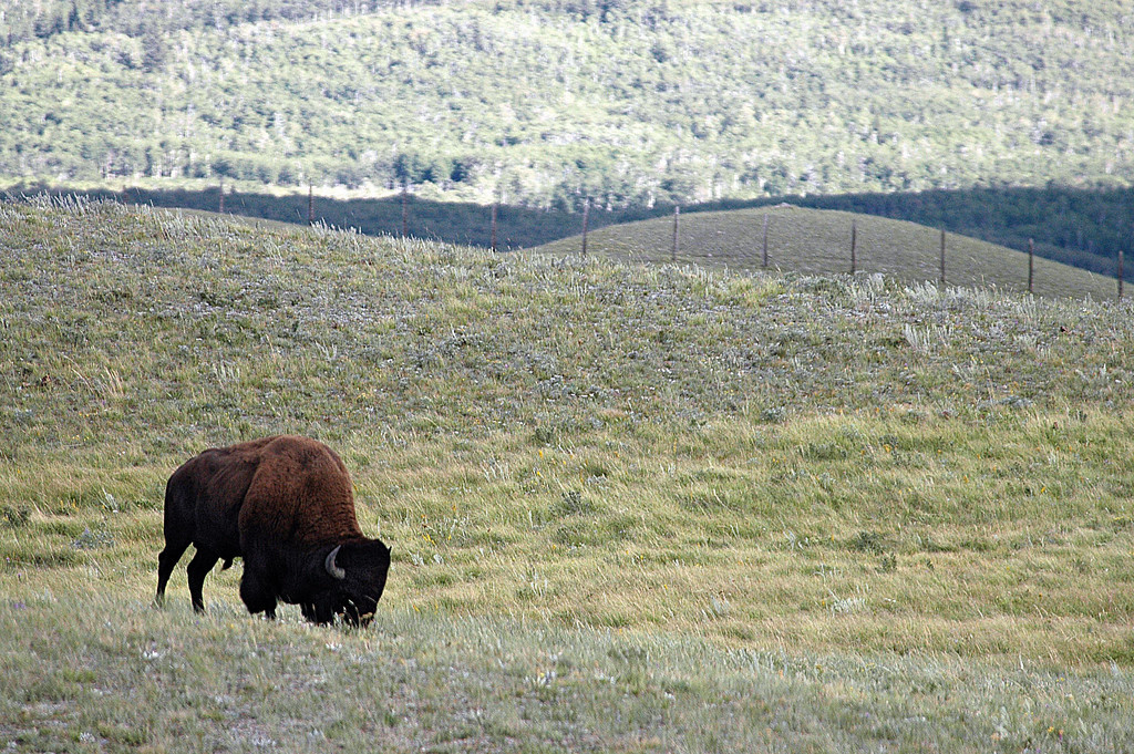 bison grazing in paddock - Waterton Lakes National Park, Canada