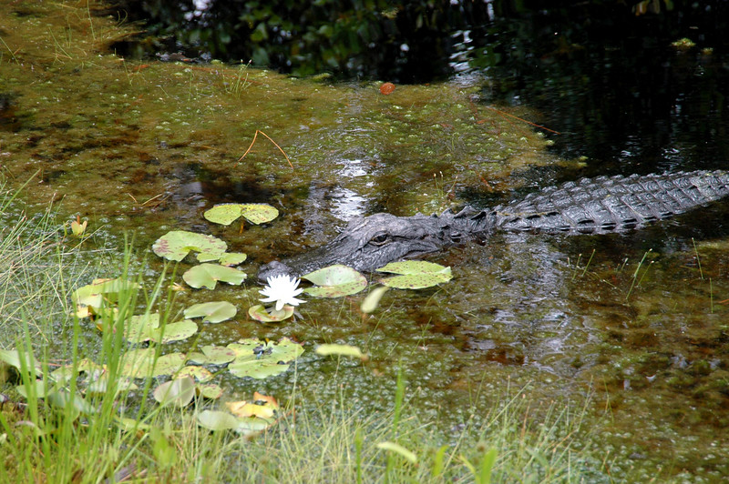 gator pausing to smell the water lilies - Okefenokee National Wildlife Refuge, Georgia