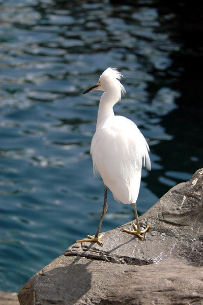 snowy egret on edge - SeaWorld