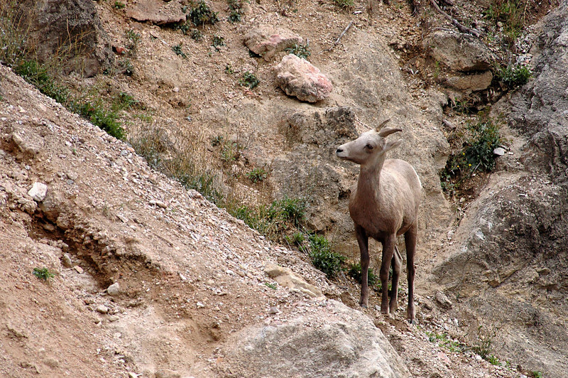 bighorn sheep looking up slope-Kootenay National Park, Canada 9-6-04