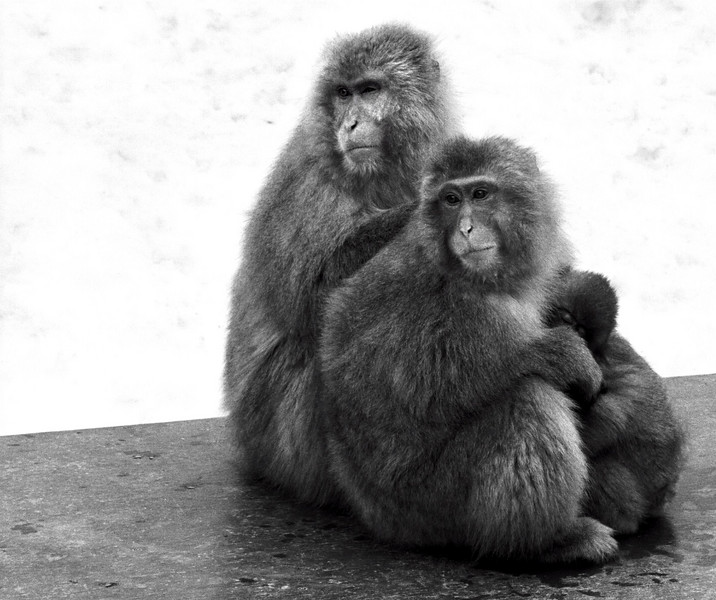 macaque trio - Hell Valley Monkey Park - Japan