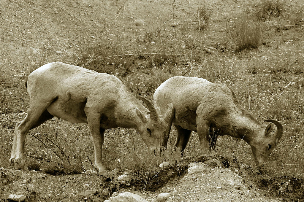 bighorn sheep duo - Canada