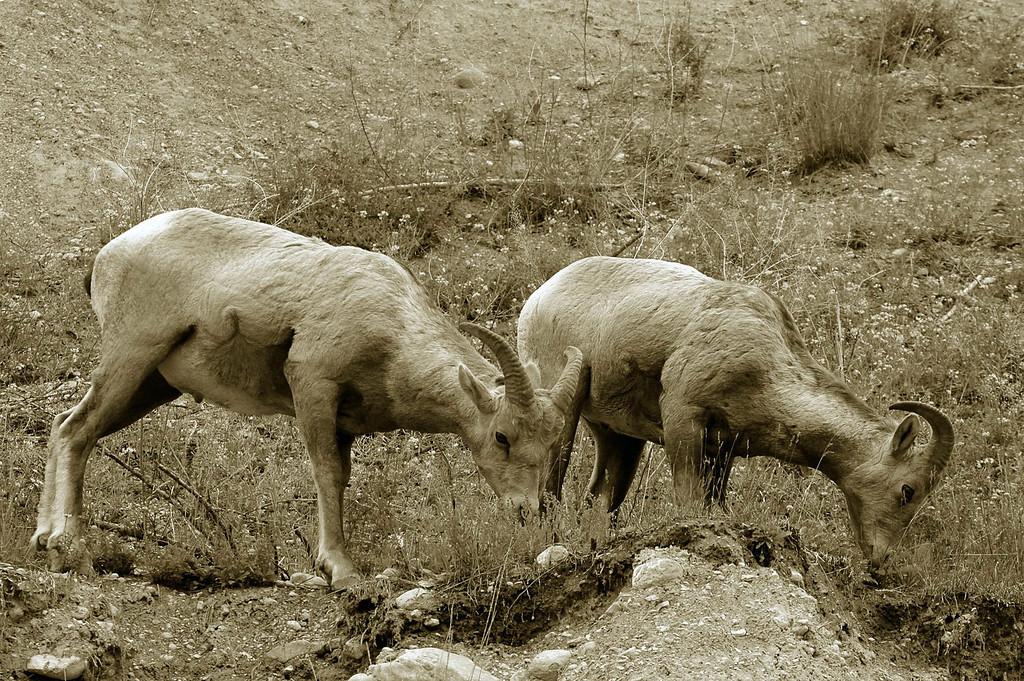 bighorn sheep duo - Canada