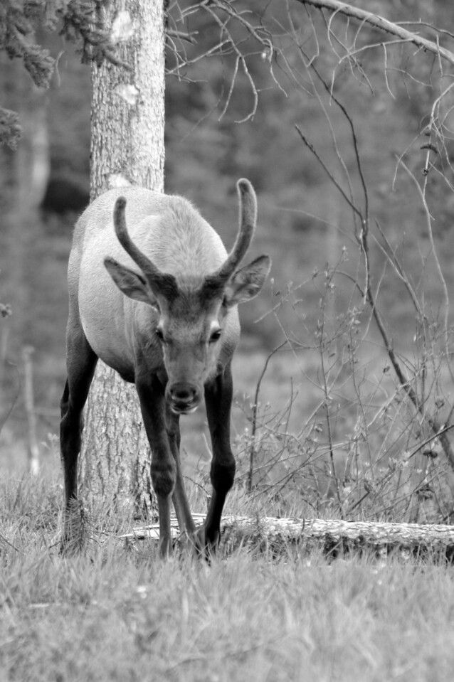 wapiti bull contemplating camera - Jasper NP