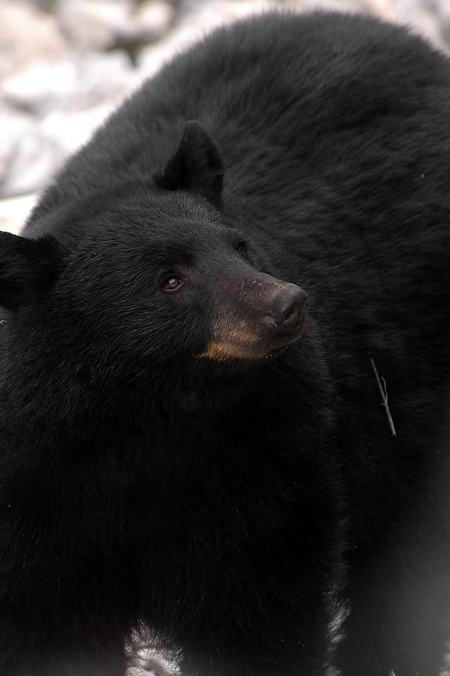 beary, beary close - British Columbia, Canada