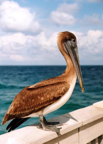 pelican - Deerfield Beach pier, Florida
