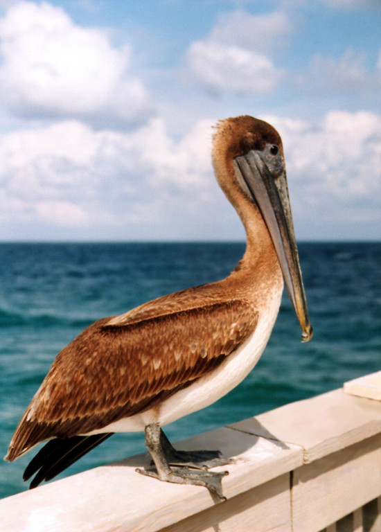 pelican - Deerfield Beach pier, Florida