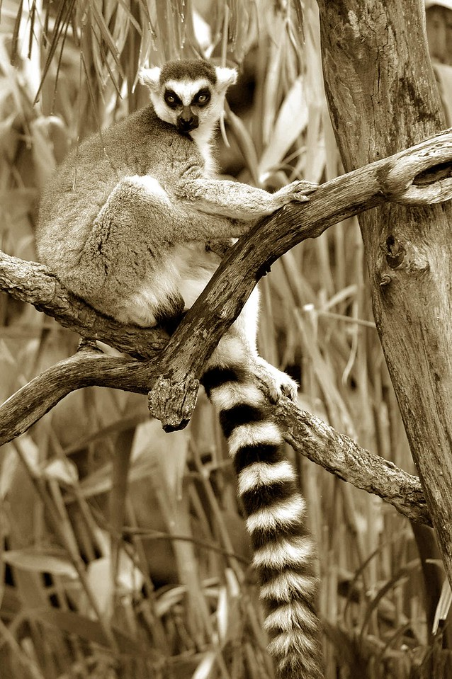 ring-tailed lemur out on a limb - Animal Kingdom, FL