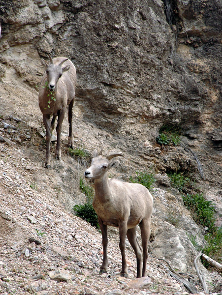 bighorn sheep pair rambling on slope-Kootenay National Park, Canada 9-6-04