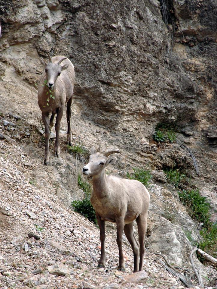 bighorn sheep pair rambling on slope-Kootenay National Park, Canada 9-6-04