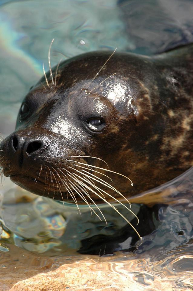sea lion, swimmingly - Florida