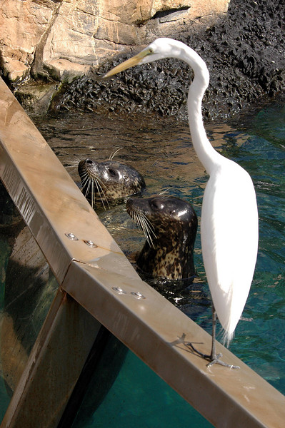 sea lion & egret - gone fishin' - SeaWorld