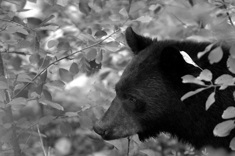 a bear in the brush is better than two bears in the brush...<br /> Lussier Gorge, Whiteswan PP, Canada