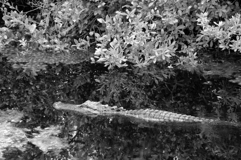 gator reflecting - Okefenokee NWR, Florida