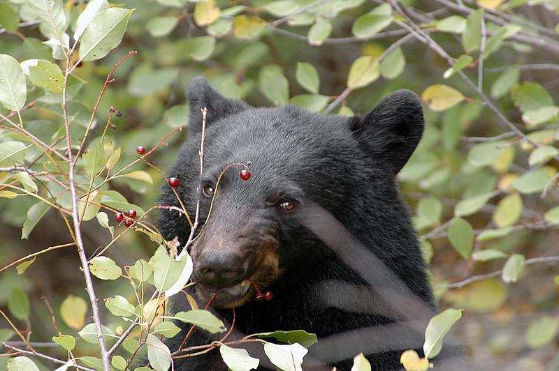 beary, beary good - Lussier Hot Springs, British Columbia