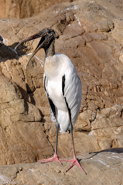 how much wood would a wood stork...? Ah, forget it!