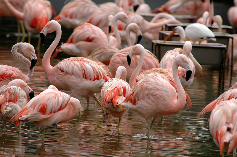 pink flamingos @ SeaWorld, Florida