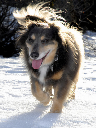 Elliot, tail blowing in the breeze<br /> Hyak, Washington