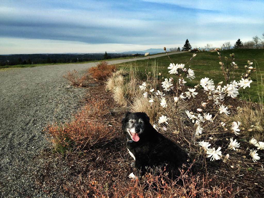 Ollie - Issaquah Highlands 2015