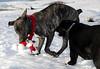 Karly making off with Ollie's collar<br /> Lake Keechelus - Hyak, WA