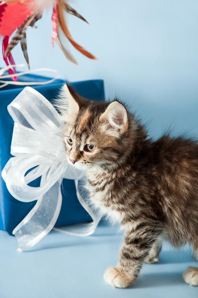 kitten KDS_9143