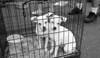 white pups waiting   -Woodinville, WA 8-1-2010