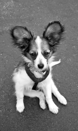 Moxie the Papillon visiting the Woodinville Wags & Whiskers adoption fair, bw 8-1-2010