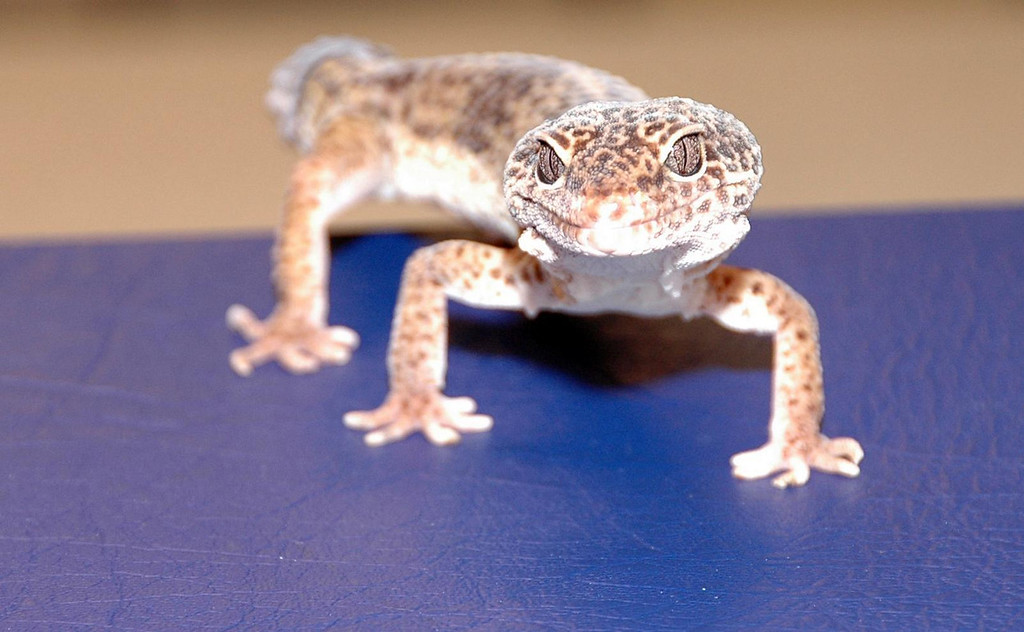 gecko's gaze